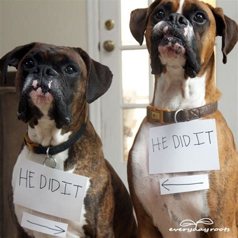 how to your boxer 10 boxer dogs how to solve your daily problems