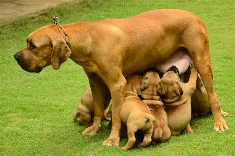 boerboel puppies price south boerboel puppies for sale sugathan v g 1 15541 dogs for sale price