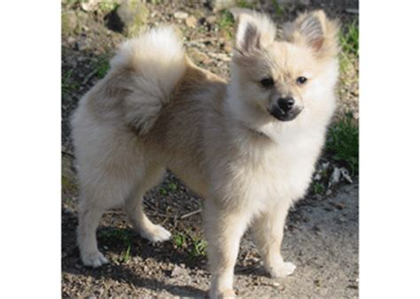 throwback pomeranian puppies for sale chihuahua american eskimo puppies breeds picture
