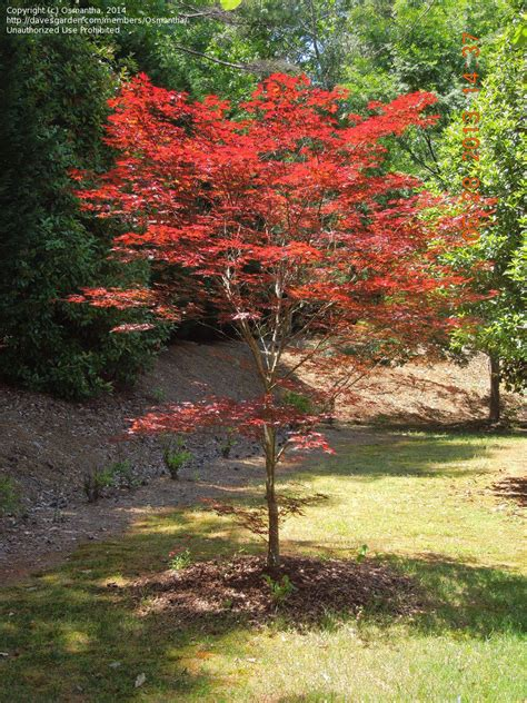 plantfiles pictures japanese maple fireglow acer palmatum by osmantha