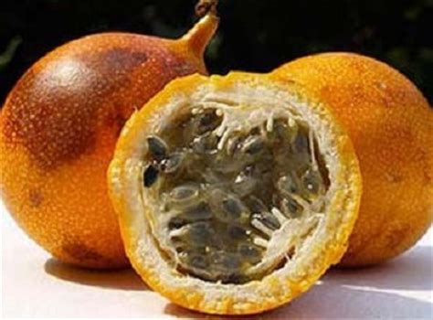 Harga Bibit Markisa bibit markisa orange