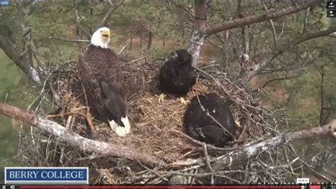 berry college eagle live berry college eagles nest 4 7 2015 intruder in the nest
