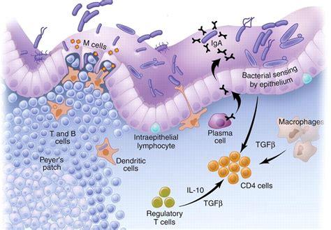 alimentazione con virus intestinale il sistema immunitario intestinale controlla il peso corporeo