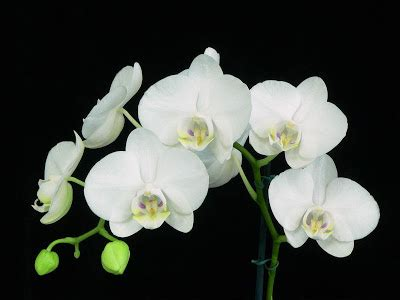 download mp3 chrisye anggrek bulan gambar bunga anggrek bulan download gambar gratis