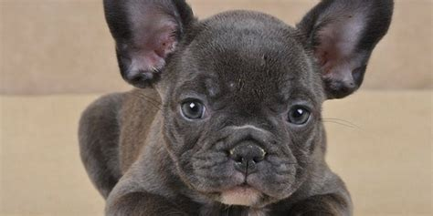 chien bulldog fran 195 167 ais