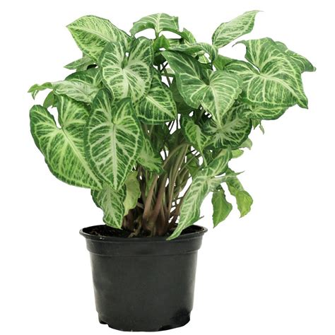 15 best low light houseplants to grow indoor 100 low light plant spider or airplane plants are