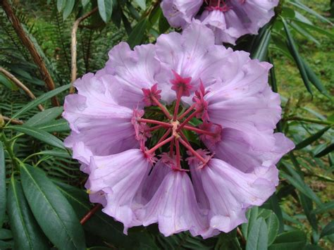 Rhododendron Species Botanical Garden New R Huanum Rhododendron Species Botanical Garden