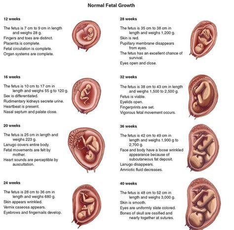 1000 ideas about prenatal development on