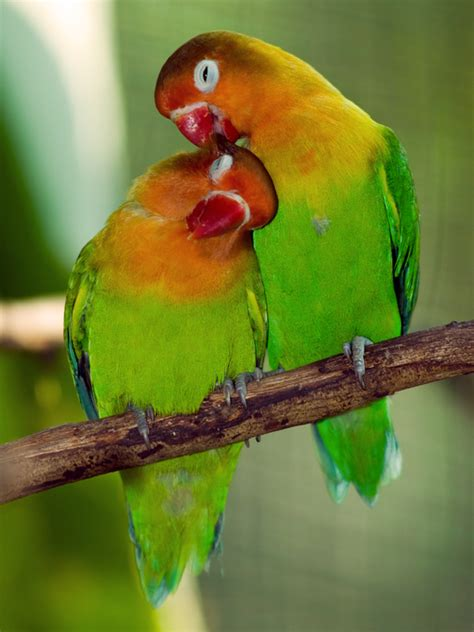 imagenes de love birds magic belles printable lovebird spinner