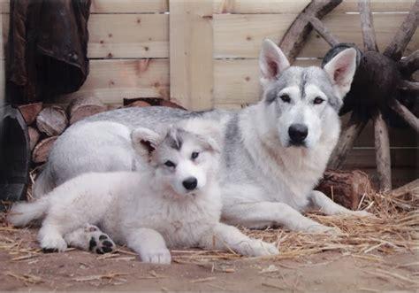 Vs St Panda Putih Abu jenis anjing yang mirip serigala sosboks
