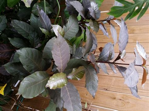 bronze foliage plants nursery open july 4th and 5th 2014 exotica tropicals