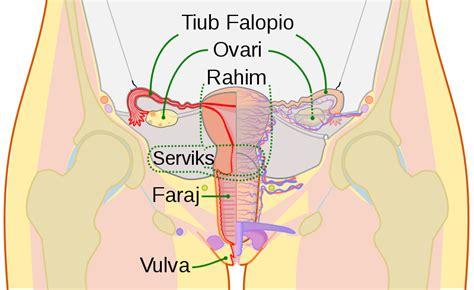filescheme female reproductive system mssvg wikimedia