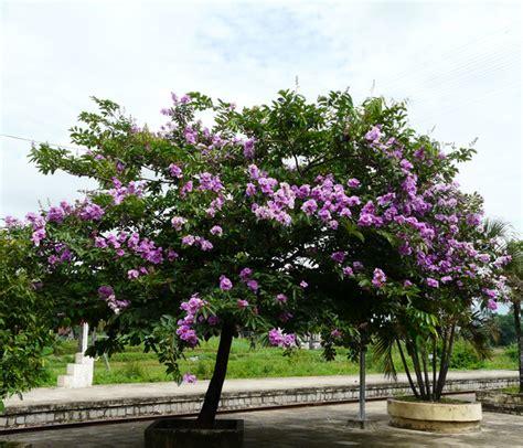 Biji Bunga Bungur Putih jual bibit pohon tanaman sedia aneka bibit pohon