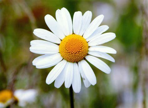 fiori margherite la margherita non 232 un fiore programmanatura