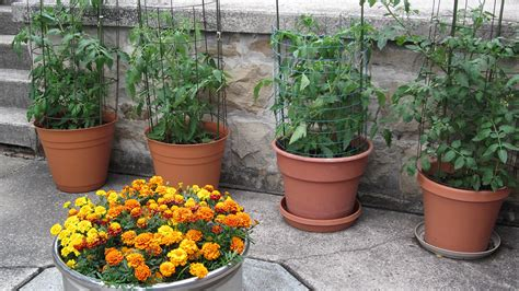 Plants In Planters by How To Grow Tomatoes In Pots Bonnie Plants
