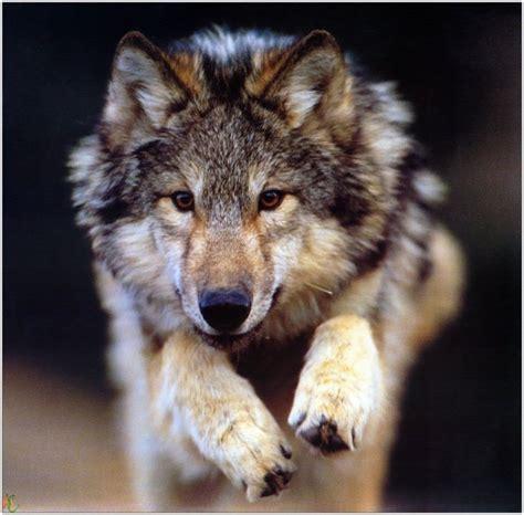 imagenes terrorificas de lobos imagenes de lobos en 3d imagui