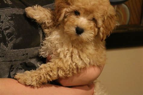 Puppies For Sale Tiny Goldendoodle Micro Mini