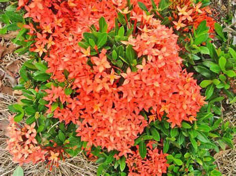 printable leaves for miniature plants ixora sunkist 171 orams nurseries rockhton wholesale