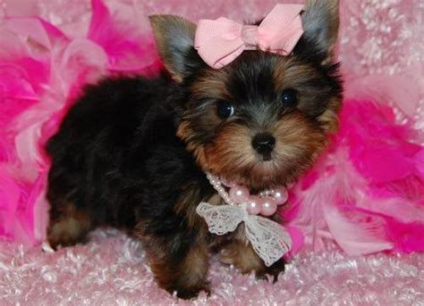 yorkie puppies for adoption in pa jovial teacup yorkie for adoption murrysville pa asnclassifieds