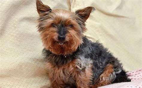 arthritis in yorkies britain s oldest still gets mistaken for a puppy aged 26 telegraph