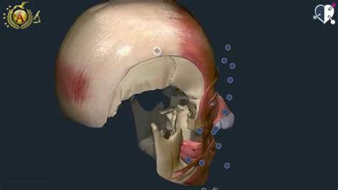 muscoli testa muscoli della testa