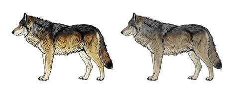 what color are wolves how to draw a wolf and shoulders knees and paws