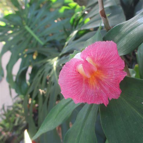 buy tropical plants costus fissiligulatus randy s tropical plants