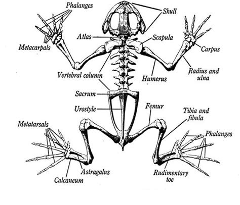 a diagram of the skeleton of a frog looking at how a