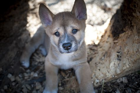 dingo puppies for sale baby dingo puppies breeds picture