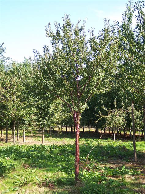 cherry tree pruning tibetan cherry prunus serrula 171 chew valley trees