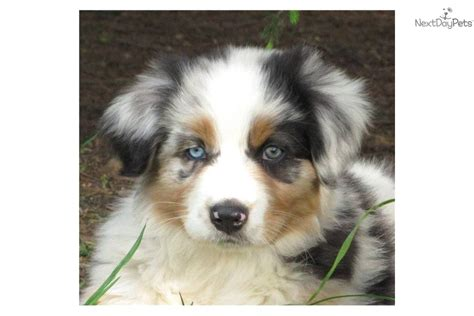 blue merle australian shepherd puppies for sale australian shepherd puppy for sale near battle creek michigan 6c27914e dfc1