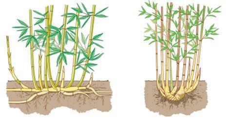 bambus rhizome vernichten bambus im garten vernichten lyfa info