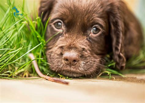 why do puppies worms worms in puppies symptoms 4k wallpapers