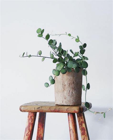 indoor vine plant o pedia silver dollar vine silver dollar plants