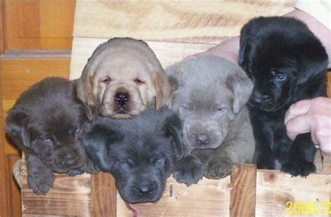 silver lab puppies for sale in florida silver labrador puppies for sale in ta florida all colors silver charcoal