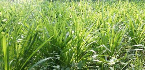 Jagung Sebagai Pakan Ternak rumput odot sebagai pakan ternak yang potensial