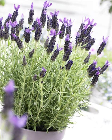 french lavender lavender stoechas midnight purple pack