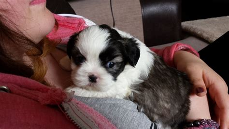 shih tzu puppies for sale in east maltese puppies for sale maltese breeders buy havanese puppies for breeds picture