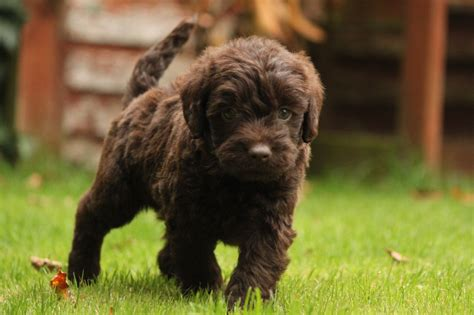 labradoodle puppy f1 miniature labradoodle puppies taunton somerset pets4homes