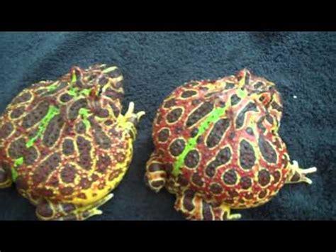 Gembok Animal Frog Vs Squirrel 1set pacman frog vs chicken vidoemo emotional unity