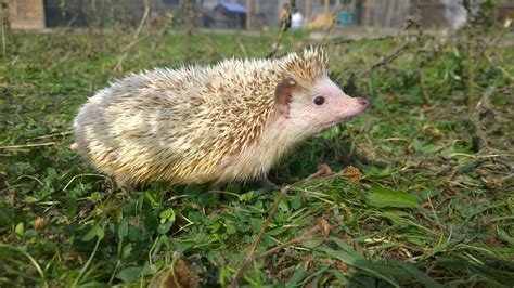 hedgehog for sale tame pygmy hedgehog for sale chichester west sussex
