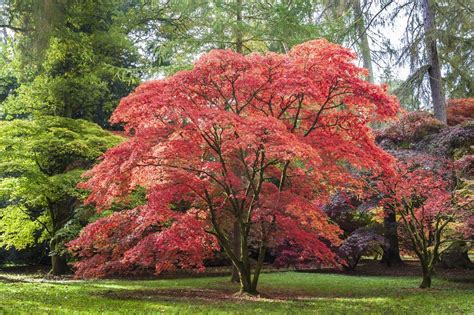 Arbre Grande Taille Croissance Rapide by Growing Japanese Maples In Zone 9 Suitable Japanese