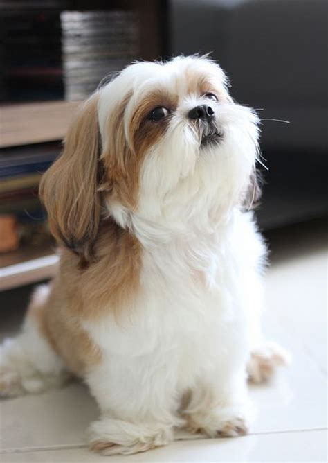shih tzu lhasa apso expectancy sitting pretty this shih tzu look happy puppies and dogs