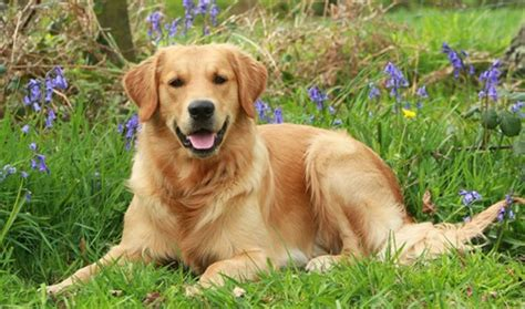 what are golden retrievers known for 20 known golden retrievers facts ilovepets