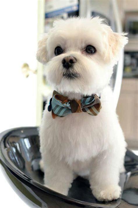 boy maltese haircuts 23 best maltese grooming hairstyles images on pinterest