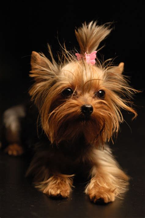 yorkies history terrier breed information history health pictures and more