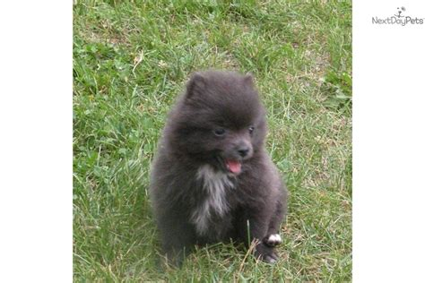 pomeranian breeders in michigan pomeranian husky mix for sale in mn breeds picture