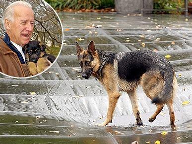 joe biden puppy photo joe biden s german shepherd hangs out by the pool pets pet news zoo