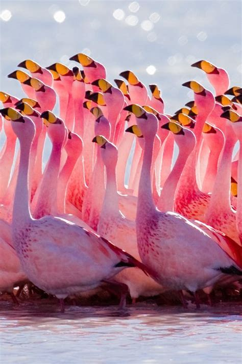 how do flamingos get their pink color 25 best ideas about pink flamingos on