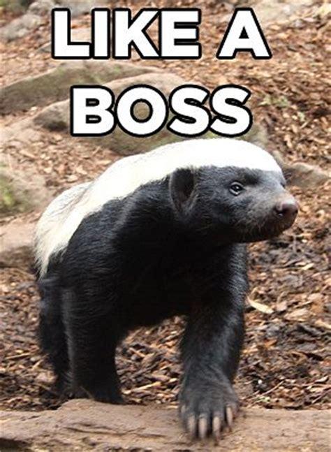Badger Memes - 17 best images about honey badger on pinterest horns